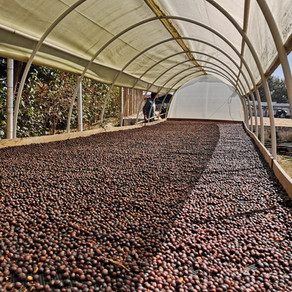 Coffee Drying Systems for Microlots