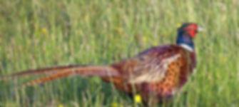pheasant-2030937_1280.jpg