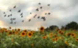 sun-flower-2269185_1920 copy.jpg
