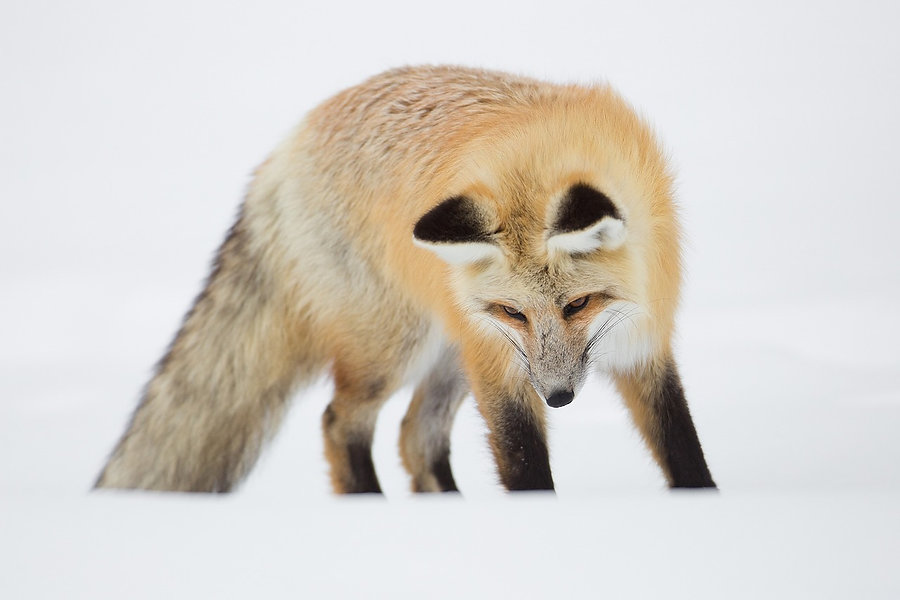 red-fox-2343582_1280.jpg