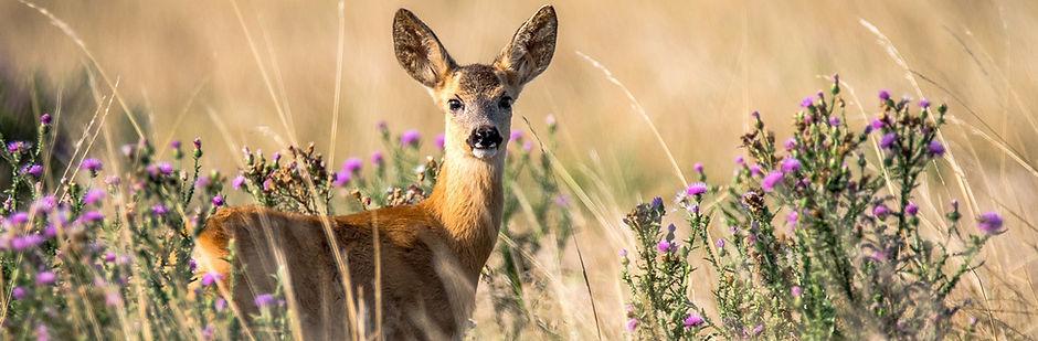 roe-deer-2615377_1280.jpg