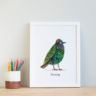 Starling A4.jpg