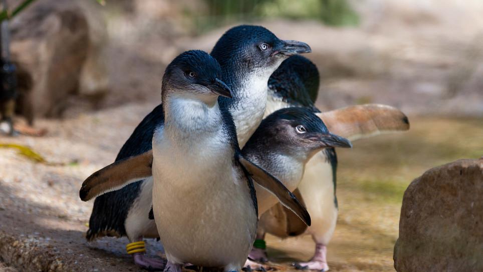 Phillip Island Nature Park DTC4F