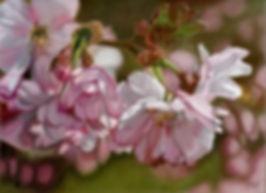 Cherry Blossom.jpg