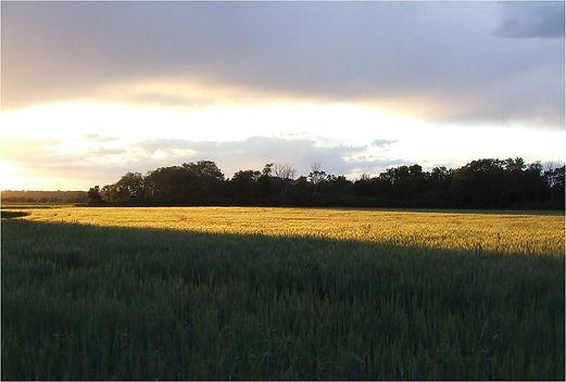 wheat field at sunset (2).jpg