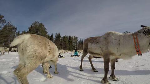 Reindeer yoga, porojooga