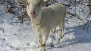 Why Goats Are Awesome!