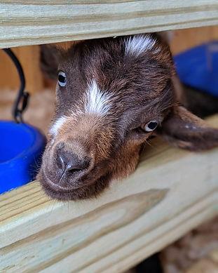 Goat, Kid, Lunara, Farm