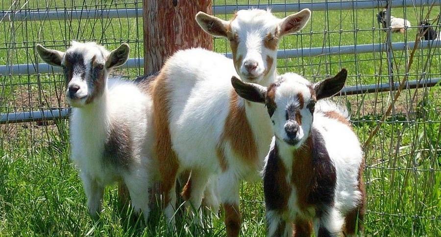Nigerian Dwarf Goats.