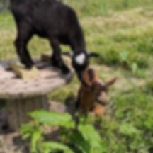 Goat, Kid, Lunara, Auriel, Farm