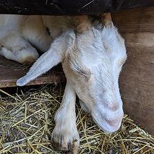 Goat, Butter, Farm