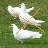 garden dove.jpg