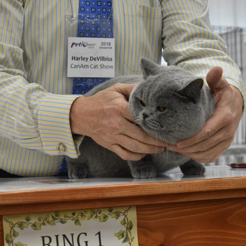 RW Supreme Grand Champion of BCBLUES with TICA Best Cat Final