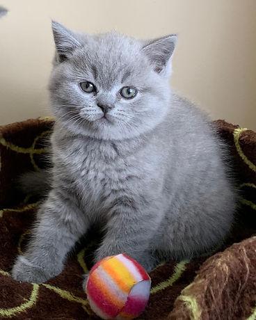 British shorthair kitten BC Canada