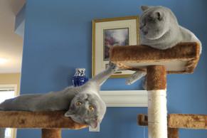 BCBLUES cats