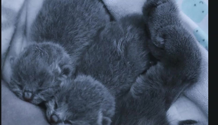 British Shorthair ittens BCBLUES Breeder Canada