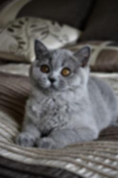 British Shorthairs Breeder Canada, Kittens