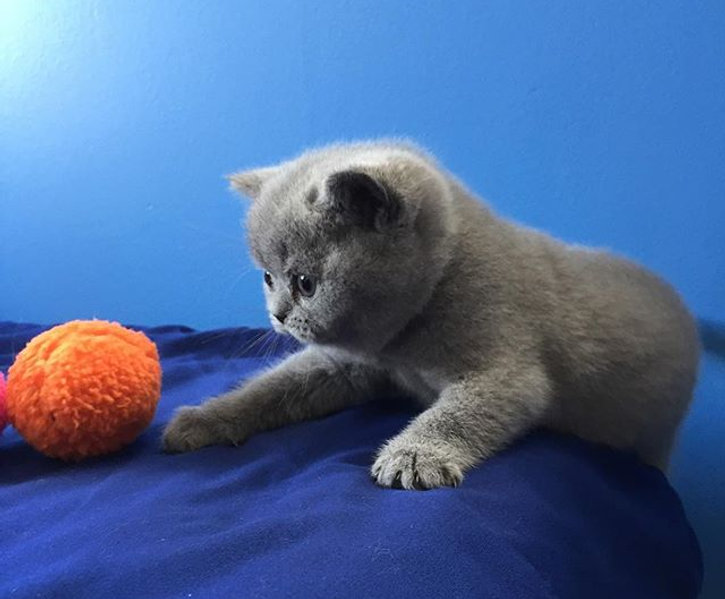 BCBlues British Shorthairs Kitten Canada