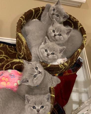 British Shorthair Kittens BC Canada