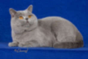 British Shorthair Breeder Canada BCBLUES
