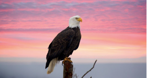 Eagle perched on tree overlooking a sherbet sunset