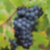 FABAL Grapes - Red
