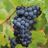 FABAL Barossa Valley Grapes