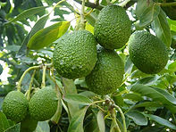 FABAL Queensland Avocados
