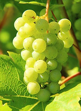 FABAL Operations White Wine Grapes