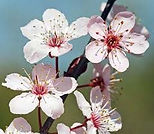 Cherry Blossoms at Reiki 4 Health, www.reiki4health.net