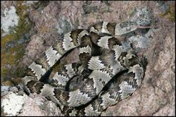 Trimorphodon tau tau 3