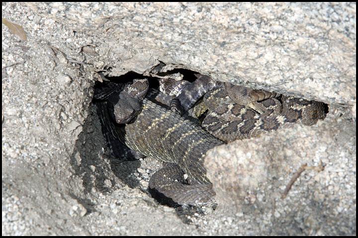 Crotalus oreganus cerberus 5