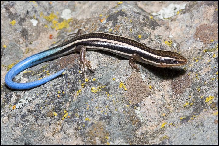 Plestiodon skiltonianus 2