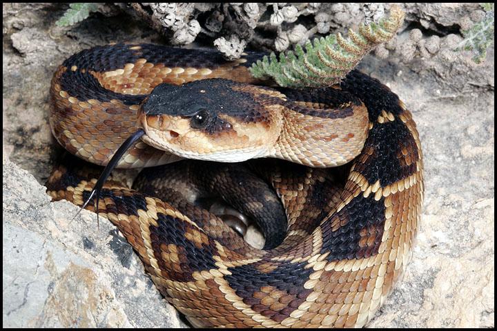 Crotalus molossus nigrescens 6