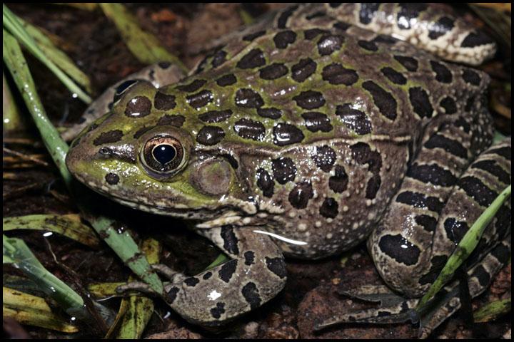 Rana chiricahuensis 1