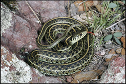 Thamnophis eques