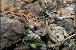 Phyllorhynchus decurtatus 1