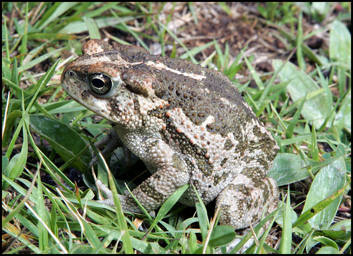 Bufo occidentalis 1