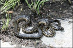 Thamnophis couchii 1a