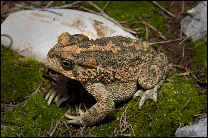 Bufo occidentalis 2