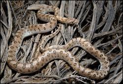 Arizona elegans candida 3