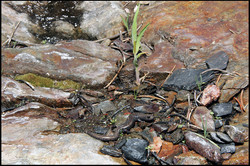 Batrachoseps robustus 6