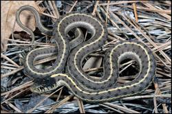 Thamnophis elegans vagrans 1