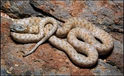 Hypsiglena chlorophaea deserticola 4