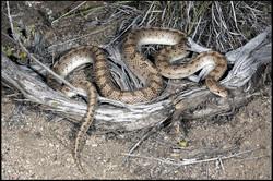 Arizona elegans candida 2