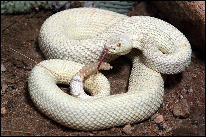 Crotalus scutulatus albino 1