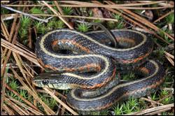 Thamnophis elegans terrestris 1