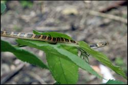 Leptodeira annulata cussiliris 1