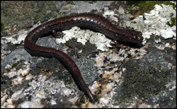 Batrachoseps relictus 1