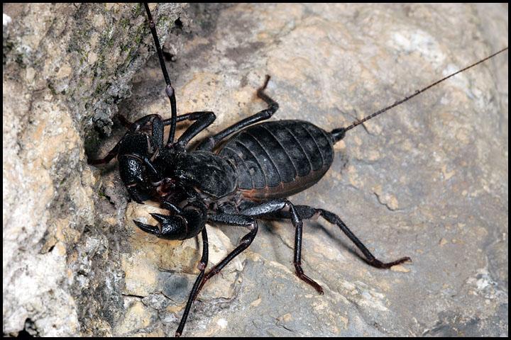 Mastigoproctus giganteus1